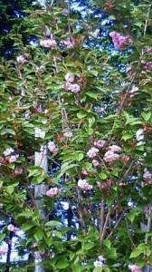 美原の桜 その2